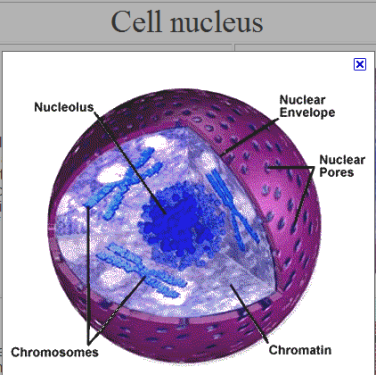 picture - cell nucleus
