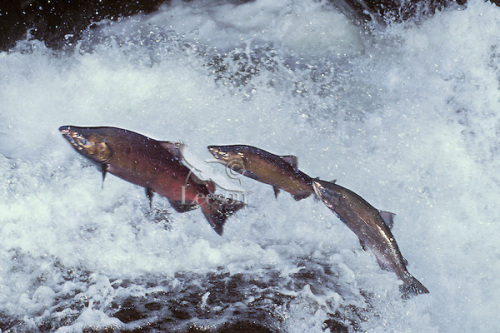 chinook-salmon-leaping2