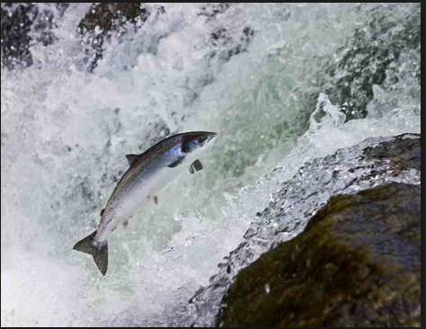 salmon fish jumping 2