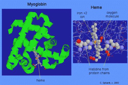 myog protein